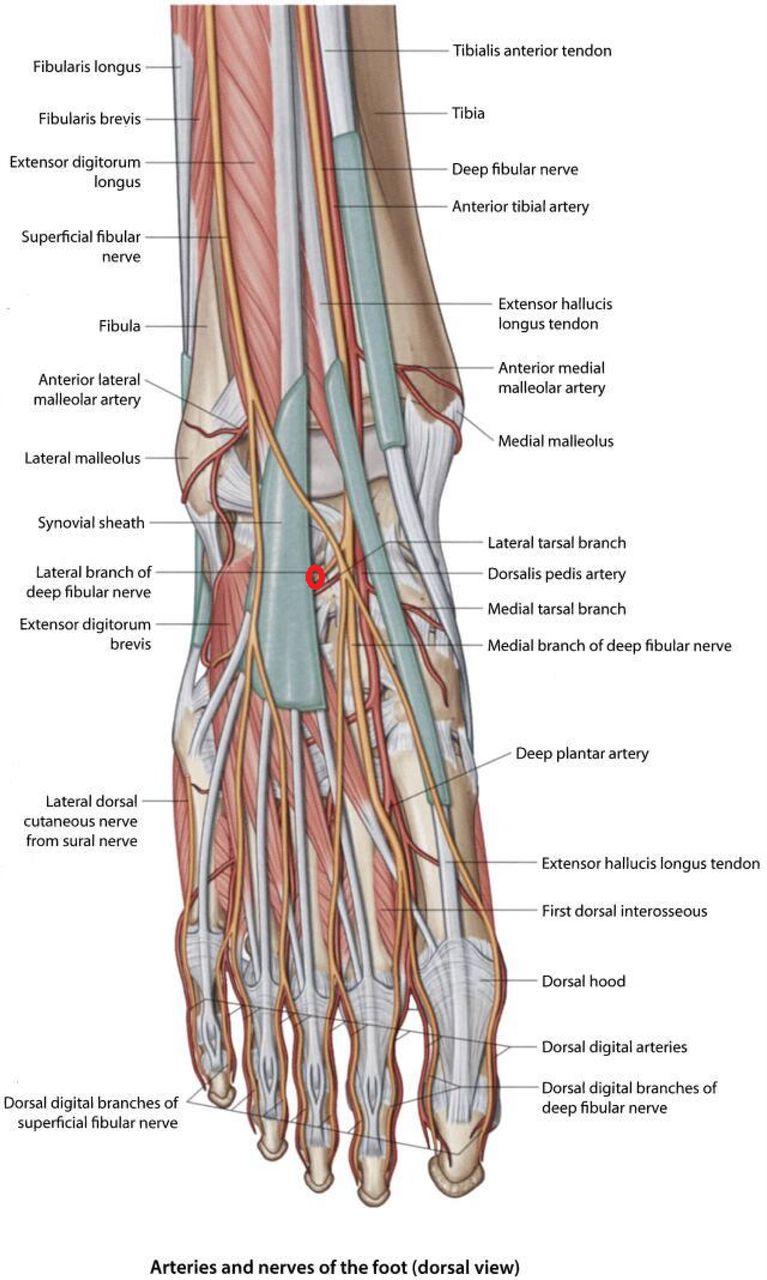 Groß Volar Hand Anatomie Fotos - Anatomie Ideen - finotti.info